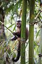 Brown / Tufted Capuchin (Cebus apella) juvenile in cloud forest, Manu Biosphere Reserve, Peru.