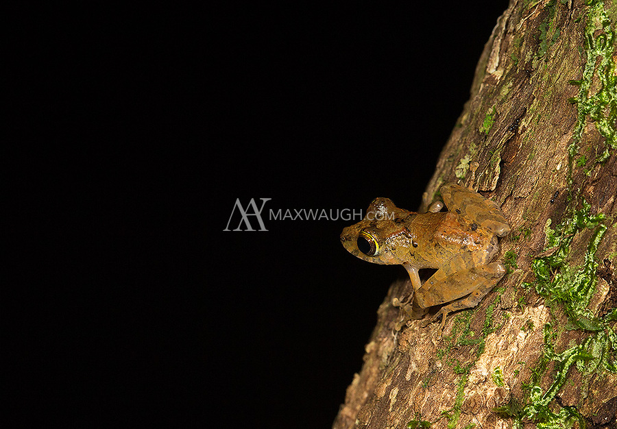 An unidentified species of frog.  Any ID help would be appreciated.