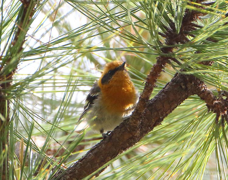 Adult male olive warbler