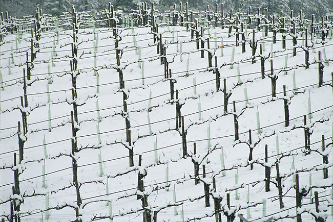 Snow on Spring Mountain vineyard. Winter 2001