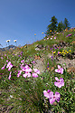 Alpine meadow in flower (2000 metres altitude) with Wood Pink {Dianthus sylvestris subsp. sylvestris} in foreground. Aosta Valley, Monte Rosa Massif, Pennine Alps, Italy. July.