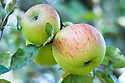 Apple 'Dutch Mignonne', late September. A Dutch dual-purpose culinary-dessert apple first brought to England in the 1770s. sometimes known as 'Reinette de Caux'.