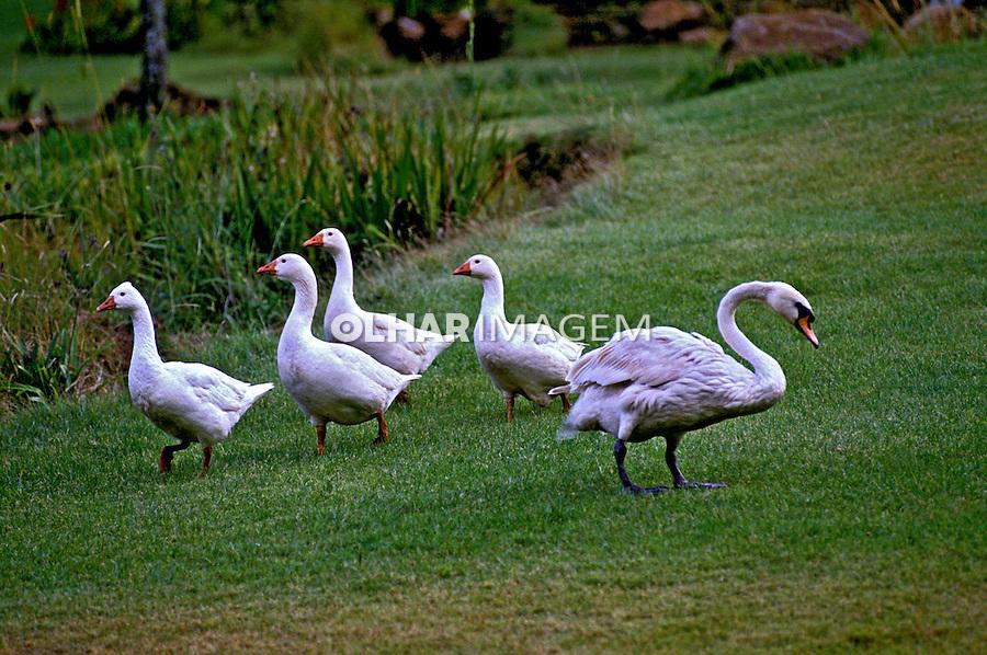 Gansos e Cisne em savana africana. Quênia. Foto de João Caldas.