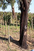 cork oak tree herdade de sao miguel alentejo portugal