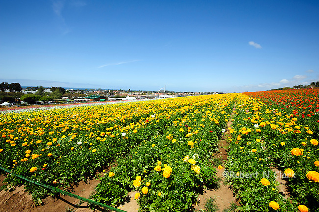 Ranunculus fields blooming in Carlsbad, California