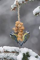 Blaumeise, selbstgemachtes Vogelfutter, am Erdnusskette, Erdnußkette, Erdnüsse, Erdnuss, Winterfütterung, Winter, Schnee, Blau-Meise, Meise, Meisen, Cyanistes caeruleus, Parus caeruleus, blue tit, bird's feeding, snow, La Mésange bleue