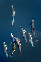 long-beaked common dolphin, Delphinus capensis, pod, bow-riding, Isla del Carmen, Loreto Bay National Park, Baja California Sur, Mexico, Gulf of California, Sea of Cortez, Pacific Ocean