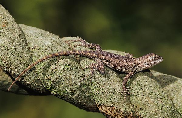 Texas Spiny Lizard, Sceloperus olivaceus, young on branch, Willacy County, Rio Grande Valley, Texas, USA, May 2004