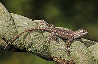 Texas Spiny Lizard, Sceloperus olivaceus, young on branch, Willacy County, Rio Grande Valley, Texas, USA, May 2004