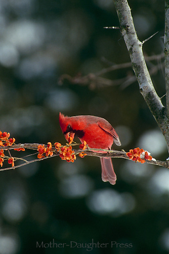 Male northern cardinal leaning over to eat a bittersweet berry on winter day