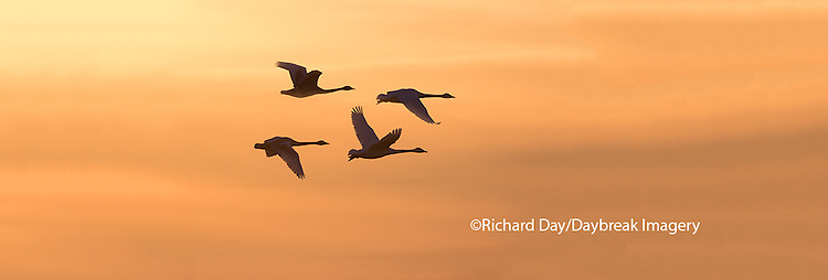 00758-01804 Trumpeter Swans in flight at sunset, Riverlands Migratory Bird Sanctuary, West Alton, MO