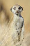 Suricate or Slender-tailed Meerkat head (Suricata suricatta), Namibia.