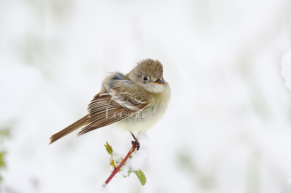 Willow Flycatcher (Empidonax traillii) in springtime snow.  Western U.S., May.