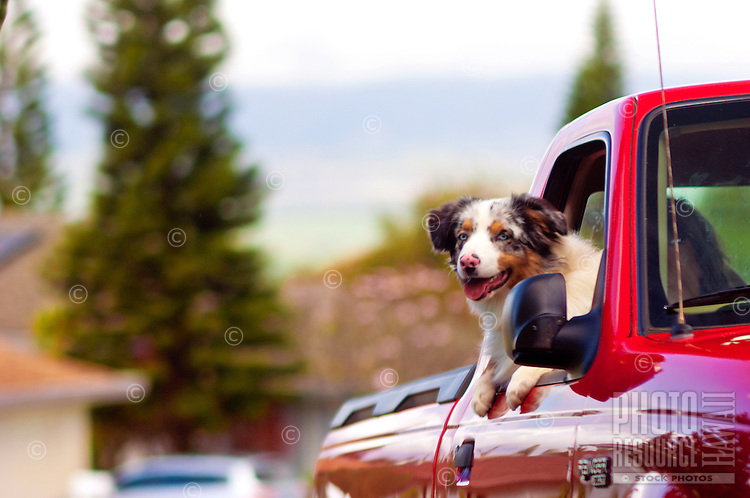 Happy puppy riding in red pick-up truck, Maui