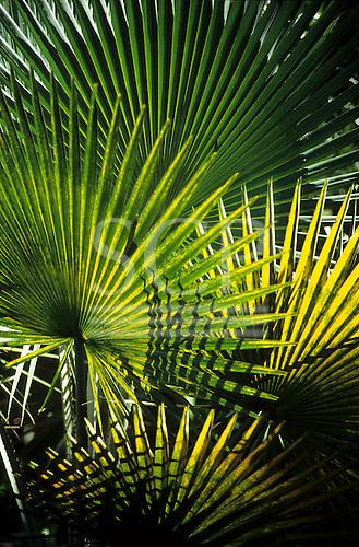 Rio de Janeiro, Brazil. Fan palm leaves in the Burle Marx gardens.
