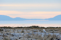 A Snowy Owl (Bubo scandiacus) perches along the shores of boundary Bay after a night of hunting. Vancouver, British Columbia. January.