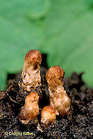 DC32-007a  Mushroom - young bud stage (series DC32-007a,009d)