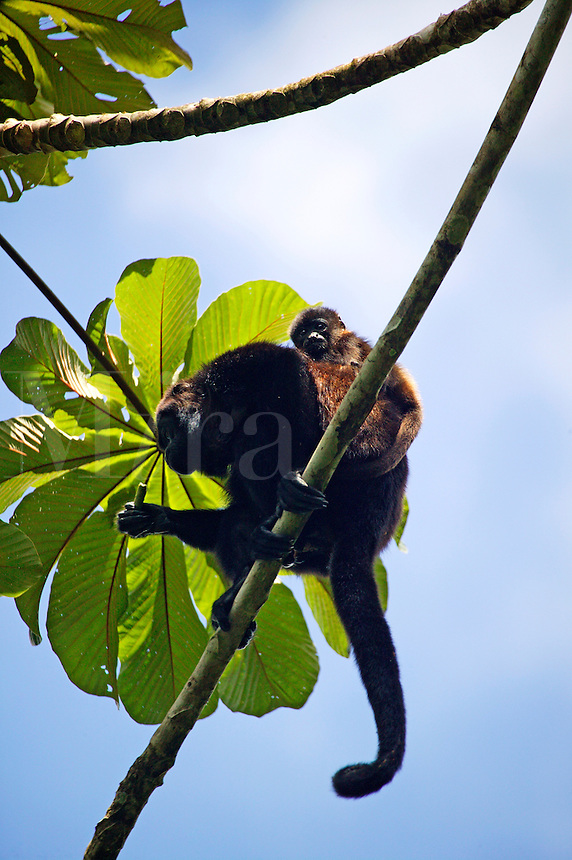 Mantled Howler Monkeys (Alouatta palliata) Tabacon Hot Spring Resort and Spa, Costa Rica