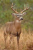 625350329 a wild whitetail deer buck odocoileus virginianus on santa clara  ranch in the rio grand valley hidalgo county texas united states