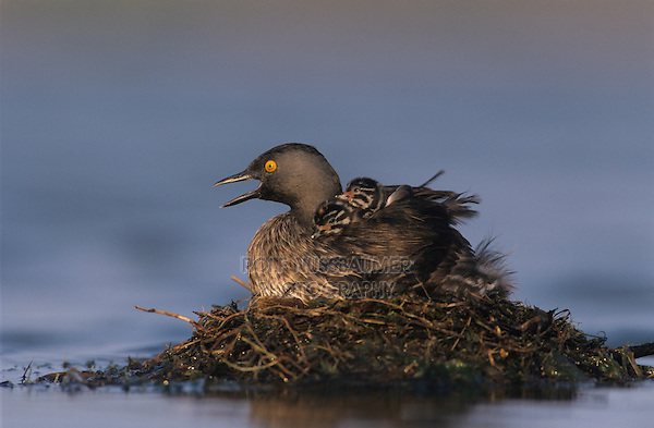 Least Grebe, Tachybaptus dominicus,adult on nest with 1 day old young on back, Lake Corpus Christi, Texas, USA