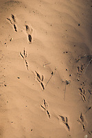 Tracks of common raven, Corvus corax. Red Rock Canyon National Conservation Area, Nevada