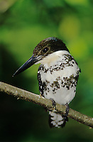 Green Kingfisher, Chloroceryle americana,female, The Inn at Chachalaca Bend, Cameron County, Rio Grande Valley, Texas, USA