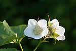 Thimbleberry blossoms
