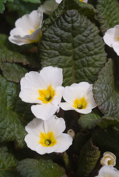 Pin flowers of Primula white with yellow center, dark foliage Kennedy Irish Drumcliff, flowers vary from pink to white with age, primroses