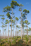 Grand Bahama Island, The Bahamas; Caribbean Pine (Caribaea vs bahamensis) trees and Sabal Palmetto (Cocothrinax argenta) plants cover nearly 50% of Grand Bahama