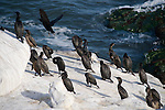 La Jolla Cove, San Diego, California; a large number of Brandt's Cormorant (Phalacrocorax penicillatus) birds stand on a rocky cliff ledge along the Pacific Ocean