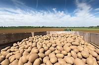 Seed potatoes <br /> &copy;Tim Scrivener Photographer 07850 303986<br /> ....Covering Agriculture In The UK....