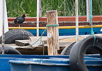 Common Gallinule, Gallinula chloropus, on a dock at San Pablo Lake, Ecuador