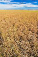 Lentils. Green<br /> near Piapot<br /> Saskatchewan<br /> Canada