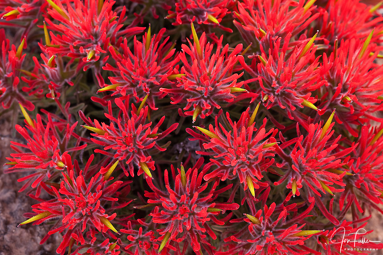 Detail close-up of Indian Paintbrush flowers.