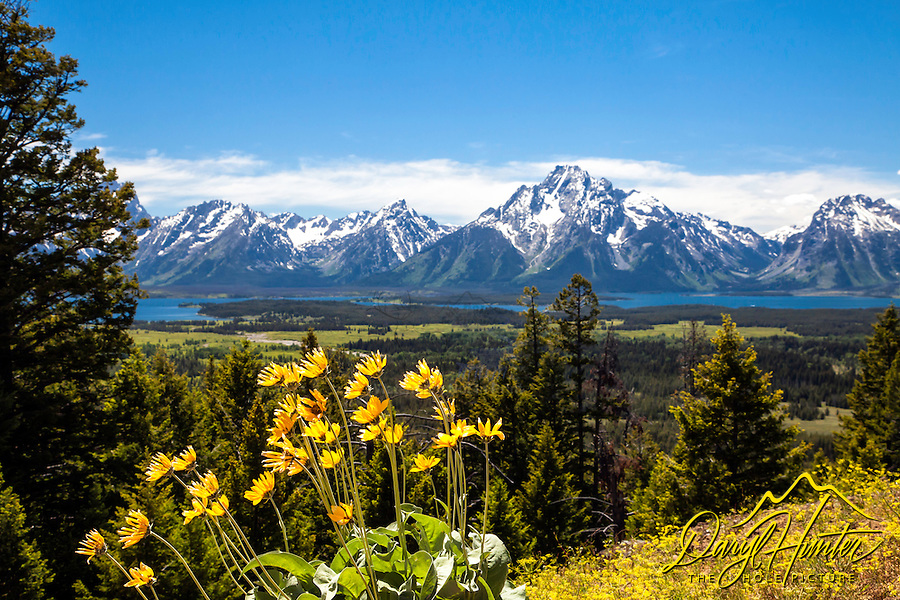 Balsomroot, Grand View Point, wildflowers of Grand Teton Park