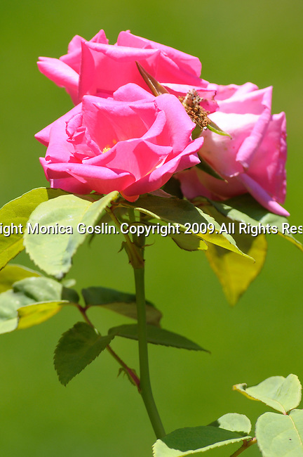 Three pink roses against a green background of grass in Ossuccio, a small town near Sala Comacina, a town on Lake Como, Italy.