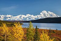 Autumn colored leaves on the trees by Wonder Lake, Mt. Denali, Denali National Park, Interior, Alaska