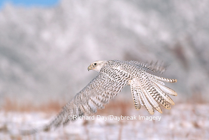 00817-002.19 Gyrfalcon (Falco rusticolus) white phase in flight