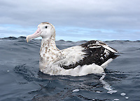 Antipodean Albatross - Diomedea antipodensis - part of the Wandering Albatross group