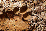 Snow Leopard (Panthera uncia) track, Pikertyk, Tien Shan Mountains, eastern Kyrgyzstan