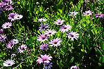 San Diego area wildflowers spring 2011