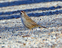 Striped sparrow, view of back