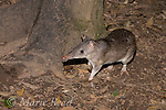 Long-nosed Bandicoot (Perameles nasuta), Lake Eacham, Queensland, Australia