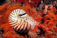 chambered nautilus, Nautilus pompilius, Sipadan Island, Sabah, Malaysia, Celebes Sea, Pacific Ocean (cr)