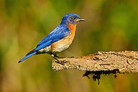 Eastern Bluebird (Sialia sialis). Male. Spring. Carolinian Forest. Lake Ontario, Ontario, Canada.