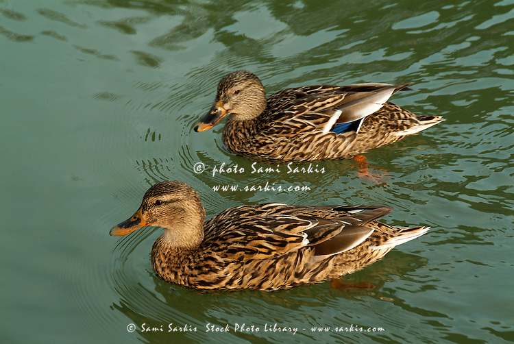 Two female ducks on the water, Provence, France.