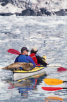 Skippy a once orphaned seal pup rescued by a kayaker, imprinted on kayaks and now hops on the back of visiting kayakers in Barry Arm, Prince William Sound, Alaska.