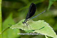 06014-001.17 Ebony Jewelwing (Calopteryx maculata) male, Lawrence Co. IL
