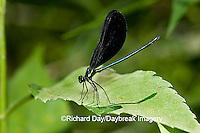06014-001.17 Ebony Jewelwing (Calopteryx maculata) male, Lawrence Co. IL