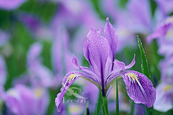 Tough Leaf Iris (Iris tenax).  Pacific Northwest.  Spring.